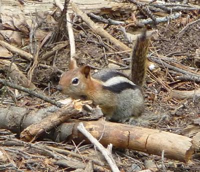 Même pour le plus grand arbre du monde, le petit écureuil est un précieux allié. © Caroline Meyer